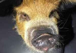 Bringing Home the Bacon - Florida Police Find Wandering Pot-Bellied Pig [Video]
