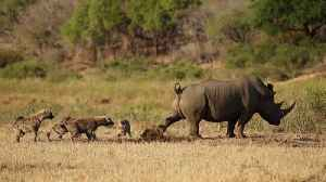 Gross! Rhino uses poop to scare off hyenas [Video]