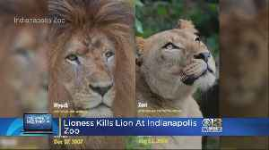 Lioness Kills Father Of Her Three Cubs At Indianapolis Zoo [Video]