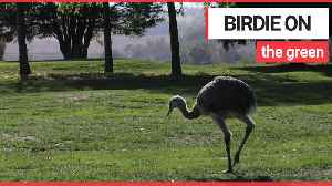 Golfers shock after escaped rhea runs amok on course [Video]