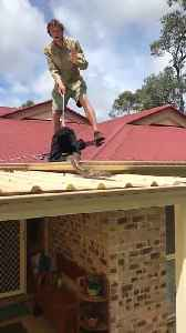 Massive Grumpy Python Roof Retrieval [Video]
