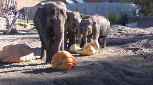 Squishing of the Squash: Elephants Squash Giant Pumpkins [Video]