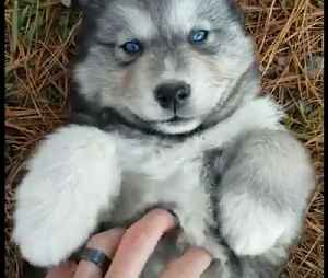 OMG! This blue-eyed husky is the cutest thing I've ever seen 😍😍 [Video]