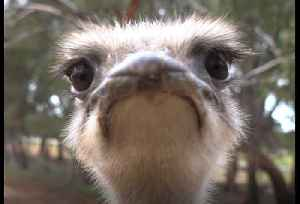 Cranky Ostrich Gives Camera a Peck [Video]