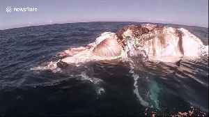 Diver films tiger sharks and great whites feasting on whale carcass off the coast of Australia [Video]