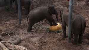 Elephants Smash Halloween Pumpkins [Video]