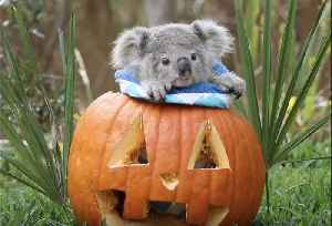 Creepy Crawlies and Cuddly Cuties: Australian Reptile Park Animals Get Into Halloween Spirit [Video]