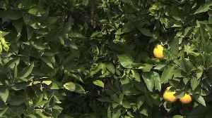 Millions of Tiny Wasps Unleashed to Protect Southern California Citrus Trees [Video]