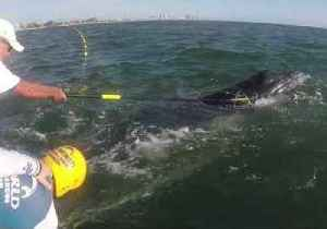 Baby Humpback Whale Rescued From Shark Netting [Video]