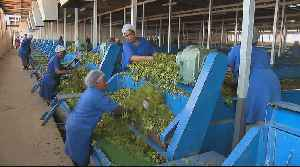 Back in business: 'Largest' tea farm gets a new lease of life [Video]