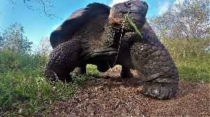 500 lbs Giant Galapagos Tortoise tramples GoPro [Video]