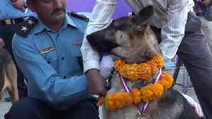 Nepal honours police canines in 'day of the dogs' festival [Video]