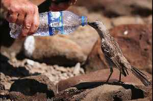 Thirsty mockingbird follows man to beg for drink of water [Video]