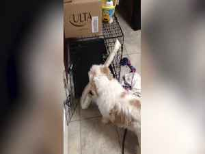Determined Pup won't stop till he has his Toy in his Crate [Video]