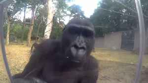 Gorillas Confused by GoPro Camera [Video]