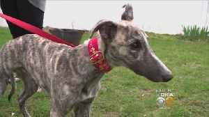 Thousands Of Greyhounds Will Need Homes After Fla. Bans Racing [Video]