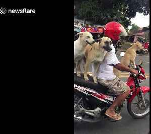 Man balances his three dogs on motorcycle as he goes for a ride [Video]