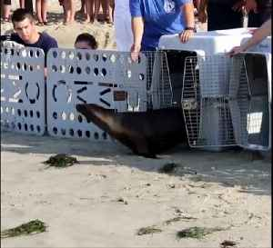 Sea Lion Released Into Ocean Checks On Friend [Video]