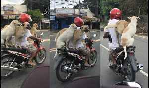 Three Dogs Riding Motorcycle [Video]