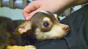 Chihuahua Rescued From Iowa Dumpster Loves Being Held [Video]