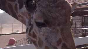 Stanley the Giraffe Safe Amid Woolsey Fire Destruction in Southern California [Video]