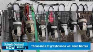 Thousands of Florida greyhounds will need homes as ban nears [Video]