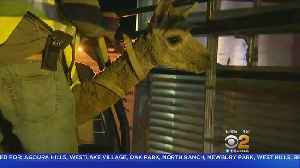 2 Alpacas Found Penned Up Rescued By Malibu Neighbors [Video]