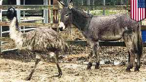 Donkey and emu couple waiting for their forever home together [Video]
