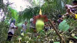 Giant 'corpse flower' blooms at Indonesia farm [Video]