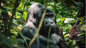 Mountain Gorilla Population Bouncing Back [Video]