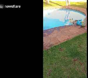 Chilled out German shepherd relaxes in his backyard pool [Video]
