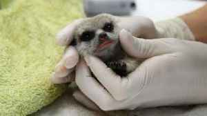Man Steals Baby Meerkat He Fell in Love With at Zoo [Video]
