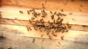AI to help researchers stop the decline of bees [Video]