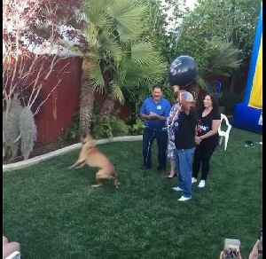 Dog pops balloon for baby gender reveal party [Video]