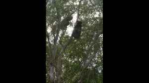 Turn up the volume: Australian man films koalas growling loudly next to his house [Video]