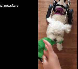 Disabled dog playing fetch won't let his wheelchair slow him down [Video]