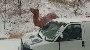 How Camel Ended Up on Snowy Pennsylvania Highway [Video]