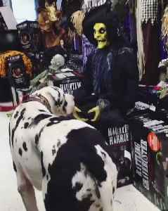 Dog Gets a Halloween Fright [Video]
