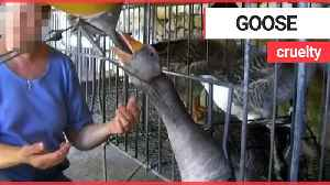 Video shows geese being force-fed at a French foie gras farm [Video]