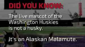 DYK: The Live Mascot of the Washington Huskies Is... [Video]