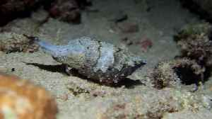 Dwarf Cuttlefish Up Close and Personal [Video]