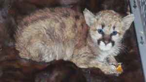 Mountain Lion Cub Sick After Someone Took It Home, Fed It Bratwurst [Video]