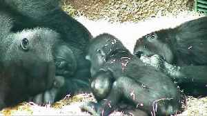 Gorilla family makes Czech zookeepers smile [Video]