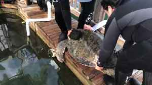 Amputee sea turtle swims for the first time [Video]