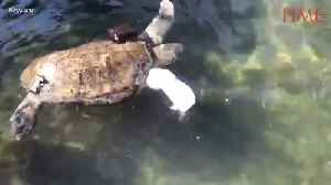 Amputee Sea Turtle Swims Again Thanks To New Prosthetic Fin [Video]