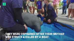 Orphaned Twin Manatees Head Home! | HuffPost News [Video]