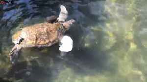 Amputee Sea Turtle Swims For The First Time After Being Given Prosthetic Flipper [Video]