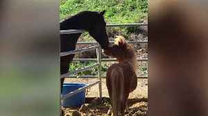 Ranch Owner Says Someone Stole Her Miniature Horse Amid Woolsey Fire [Video]