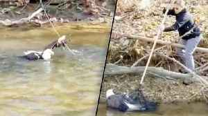 Rescuers Rush to Save Injured Bald Eagle in Creek Before it Gets Swept Away [Video]
