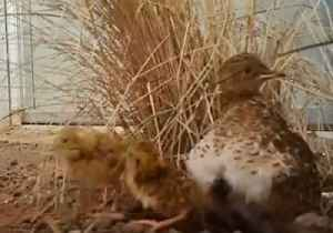 Day-Old Plains-Wanderer Chicks Take Speedy First Steps at Werribee Open Range Zoo [Video]